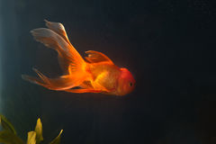 Gold fish swiming  in aquarium. File of gold fish swiming  in aquarium Stock Photography