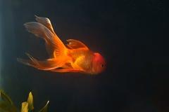 Gold fish swiming  in aquarium Stock Photography