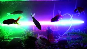 Gold fish swimming in fish tank, Fish in the aquarium. Gold fish swimming in fish tank, Fish stock footage