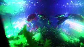 Gold fish swimming in fish tank, Fish in the aquarium. Gold fish swimming in fish tank stock video
