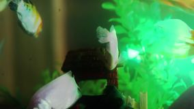Gold fish swimming in fish tank, Fish in the aquarium. Gold fish swimming in fish tank stock video footage