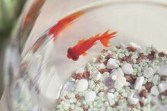 Gold fish swimming in his fishbowl Stock Photos