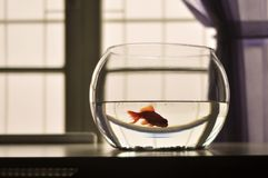 Gold fish swimming in his fishbowl Royalty Free Stock Photos