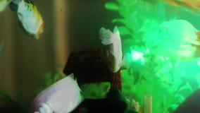 Gold fish swimming in fish tank, Fish in the aquarium.  stock video