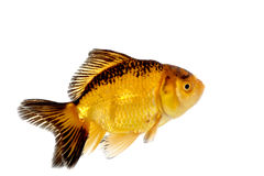 Gold fish Royalty Free Stock Image