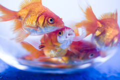 Gold fish underwater Stock Images