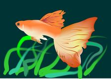 Gold fish. Vector drawing can be applied for covers, sites for kids, sites about fish, the texture Stock Photo