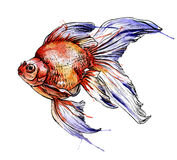 Gold fish vector watercolor illustration. Royalty Free Stock Photo