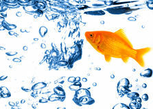 Gold fish in water Royalty Free Stock Photos