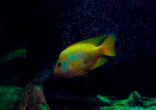 The gold fish, art photo for all stock images