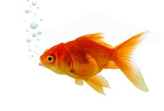Gold fish in water Stock Photos