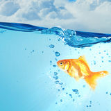Gold fish in water . Mixed media royalty free stock image