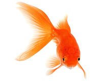 Gold Fish on White Background Royalty Free Stock Photography