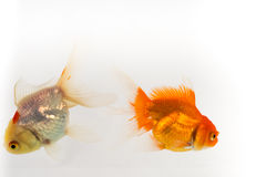 Gold fish white background Stock Images