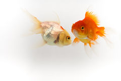 Gold fish white background Royalty Free Stock Photos