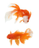 Gold Fish on white background Royalty Free Stock Photo