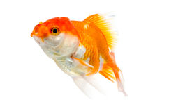 Gold fish on a white background : Clipping path Royalty Free Stock Photography