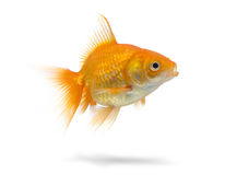 Gold fish on white background Stock Photos