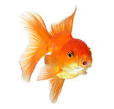 Gold fish  on white background Stock Photo