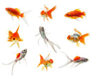 Gold fish  on the white background Stock Photo