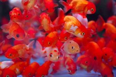 Gold fish2. Gold fish in aquarium Stock Images