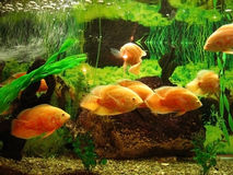 Gold fishes Royalty Free Stock Images