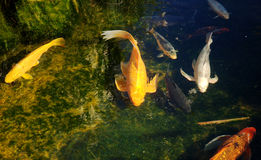 Gold fishes Stock Photos