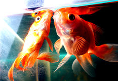 Gold Fishes Royalty Free Stock Image