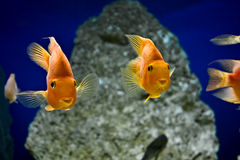 Gold fishes Royalty Free Stock Photo