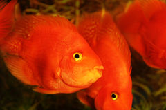 Gold Fishes aquarium Royalty Free Stock Photo
