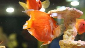 Gold fishes in the aquarium. Fish swimming in aquarium. Beautiful fishes of different sizes swim in transparent aquarium water. Colorful aquarium tank filled stock video footage
