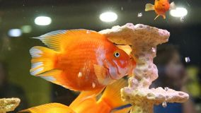 Gold fishes in the aquarium. Fish swimming in aquarium. Beautiful fishes of different sizes swim in transparent aquarium water. Colorful aquarium tank filled stock footage