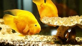 Gold fishes in the aquarium. Fish swimming in aquarium. Beautiful fishes of different sizes swim in transparent aquarium water. Colorful aquarium tank filled stock video