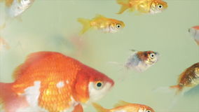 Gold fishes in the fish tank. 1080p 60fps footage stock footage