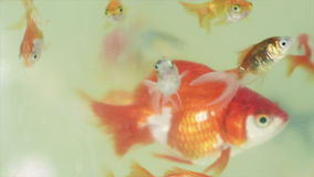 Gold fishes in the fish tank. Gold fishes in the fish tank 1080p slow motion footage stock video footage