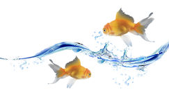 Gold fishes jumping over slash blue water. Stock Photo