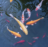 Gold fishes over water Stock Image