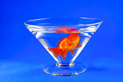 Gold fishes in tall glass on blue Stock Image