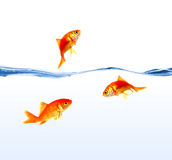 Gold fishes on water isolated Royalty Free Stock Photo