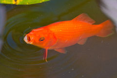 Gold fish. Goldfish floating in the pool Stock Photo