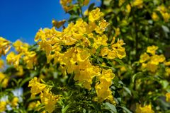 Gold flower thong u rai royalty free stock photography