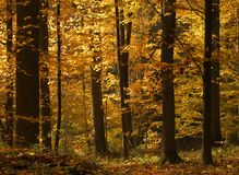 Gold forest Stock Image