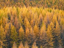 Gold Forest in Autumn Royalty Free Stock Photography