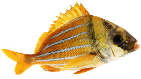 Gold fresh fish Stock Photography