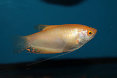 Gold gourami (Trichopodus trichopterus) aquarium fish Stock Photo