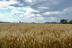 Gold grain field Stock Photos