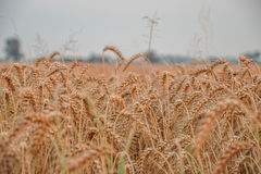 Gold grain field Royalty Free Stock Photo
