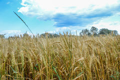 Gold grain field Stock Image