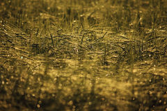 Gold grain Stock Image