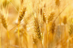 Gold grains in summer time Royalty Free Stock Photos
